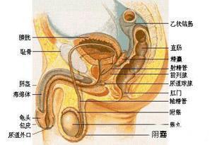 主要是由于男性的生理结构属于尿道上行,这种情况更加容易感染,当
